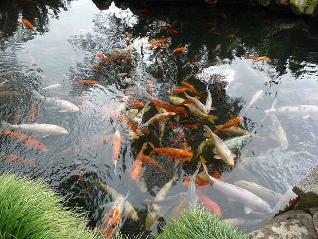 Koi ponds are a beauty to behold.  Watching the fish swimming freely within the pond is captivating and soothing.  Feedi...